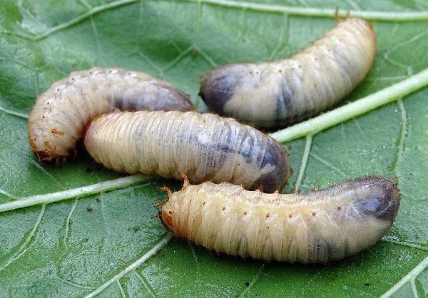 larves compost